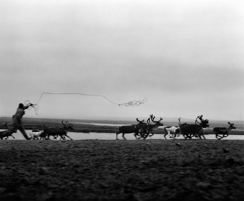Man throws lasso at running herd of reindeer.