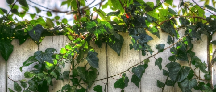 Vines on Wooden Fence
