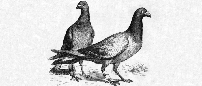 Engraving of two pigeons with messages tied to their legs