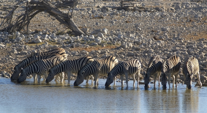 Zebras drinking from a river